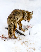 Madison River Coyote, West Yellowstone