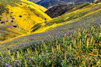 Blazing Stars, Lacy Phacelia, Desert Candles & Hillside Daisies, Caliente Mountains-Carrizo Plain