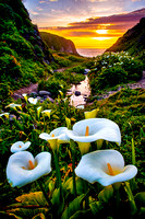 "Calla Lily Sunset - SeeMonterey.com/blogMonterey.com ""Flickr Photo of the Week"" Award"